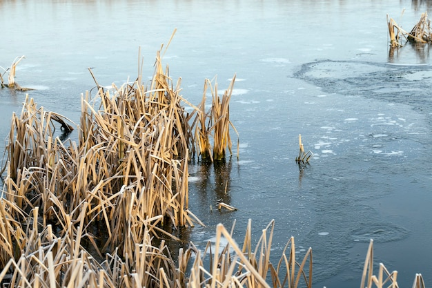 The lake is frozen during the winter frosts, dry grass and reeds sticks out