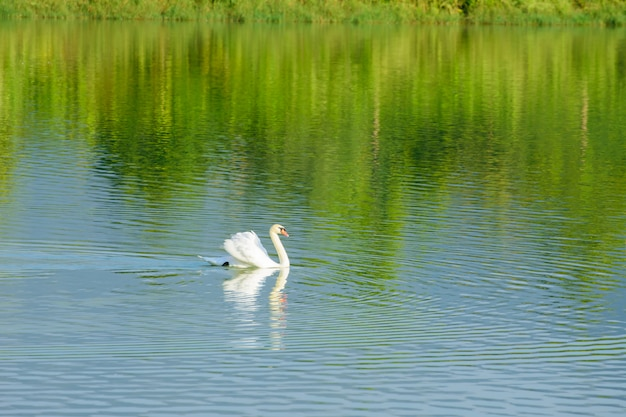 Lake in nature with white swans