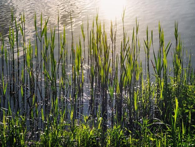湖、葦、夕方の太陽。水の青に対して葦の葉と美しい自然の背景