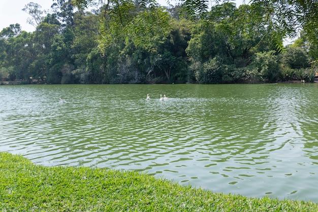 브라질의 공원에있는 호수, 나무, 거위.
