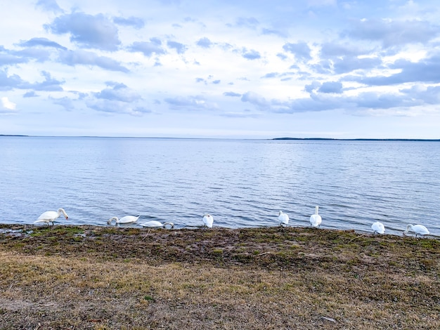 Озеро с птицами, зимой лебеди