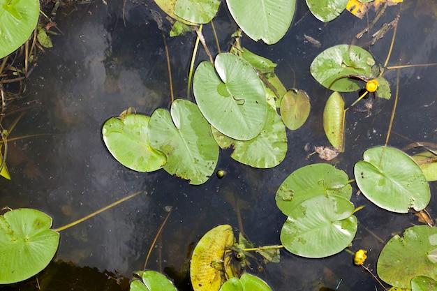 睡蓮が生えている湖