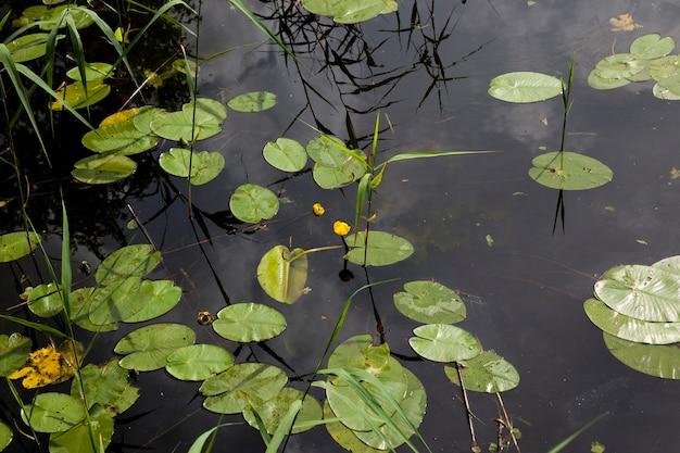 Озеро с растущими кувшинками