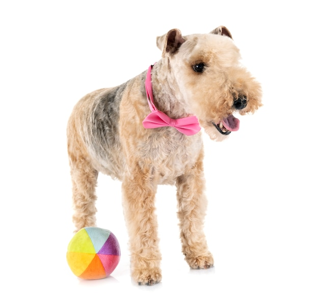 Lakeland terrier in studio