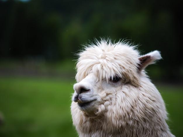 ラマ(lama glama)家畜。動物のコンセプト