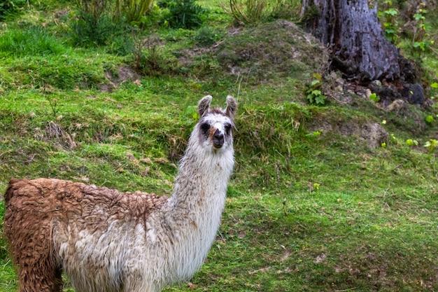 Лама на пастбище. новая зеландия