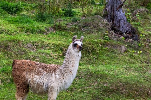 Лама на пастбище. южный остров, новая зеландия