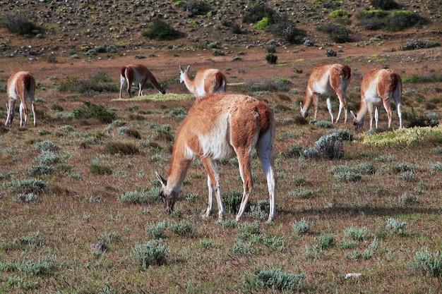 Лама в национальном парке торрес-дель-пайне, патагония, чили