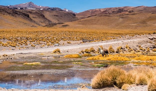 Лама на фоне пейзажа лагуны в боливии