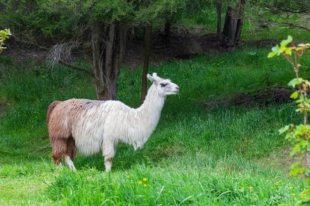 Лама. портрет красивого животного. новая зеландия