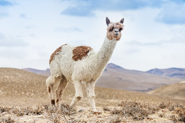 Lamas in andes mountain