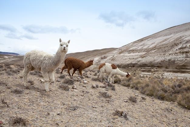 Lamas in andes,, peru