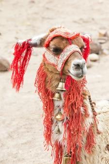 Lamas in andes, peru