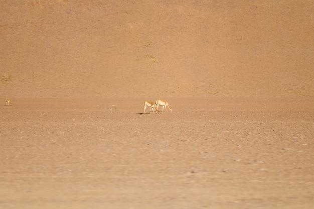 Lamas at eduardo avaroa andean fauna national reserve in bolivia