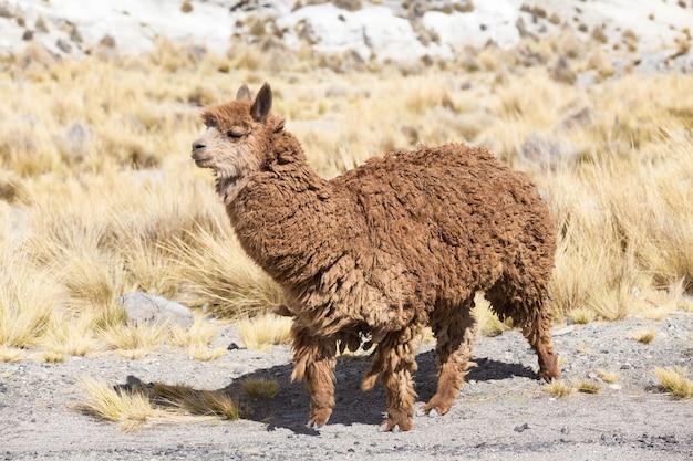 アンデス、山、ペルーのラマ