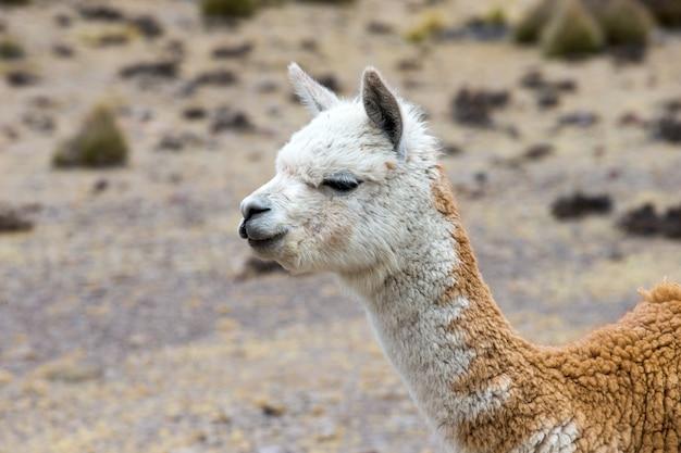 페루 안데스 산맥의 라마