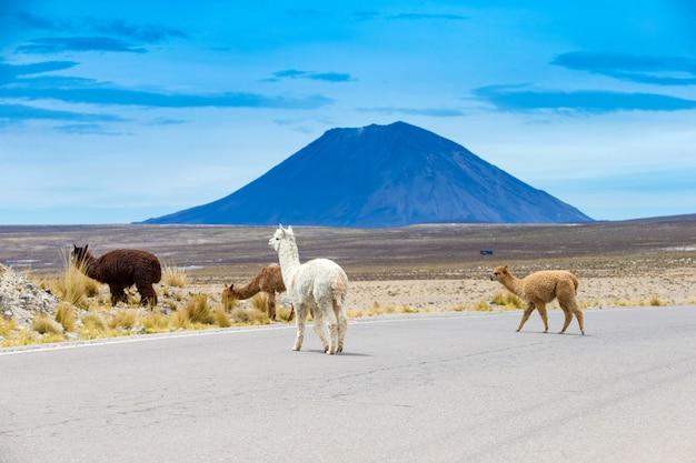アンデス、山、ペルーのラマ僧
