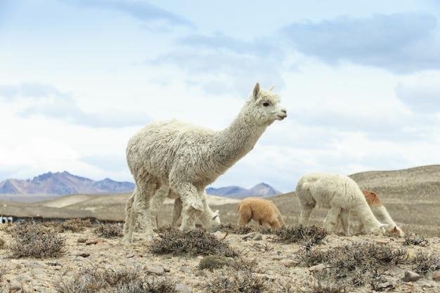 Ламы в андах, горах, перу