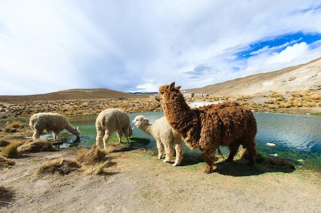 Lamas in mountains