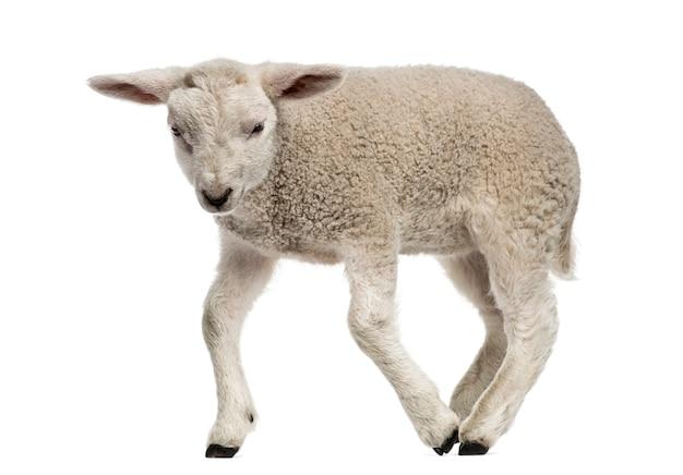 白で隔離された子羊(8週齢)