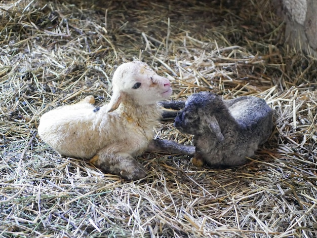 Lamb cannot stand after birth