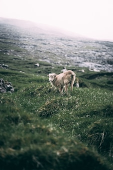 Lamb in a green hill at the coast