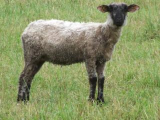 Lamb is looking at you