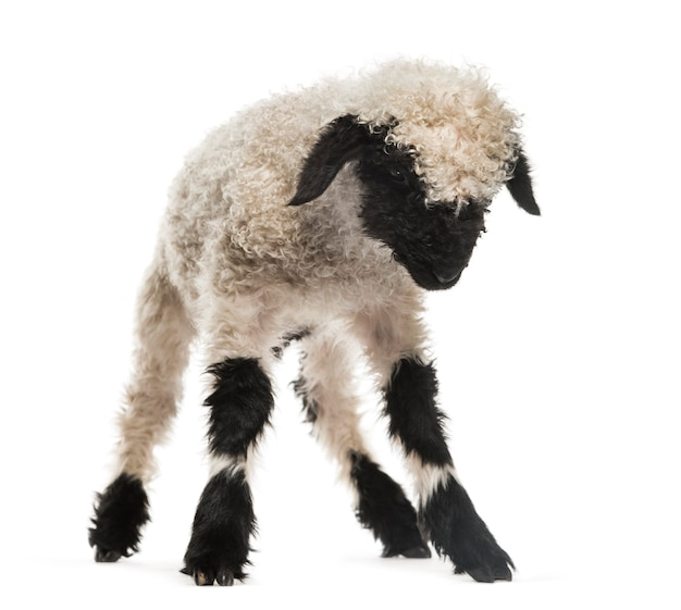 Lamb looking down in front of white surface