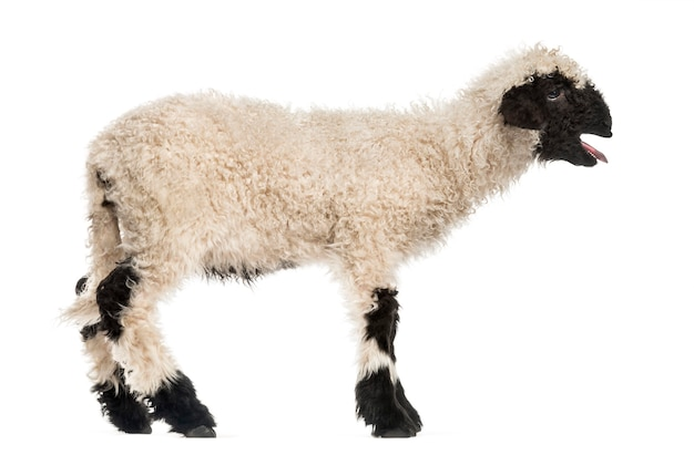 Lamb standing and baaing in front of white surface