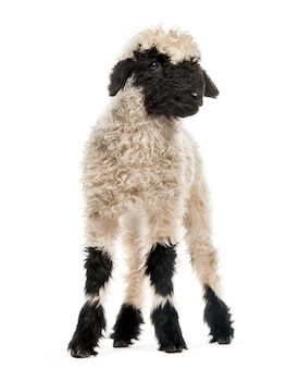 Lamb standing in front of white