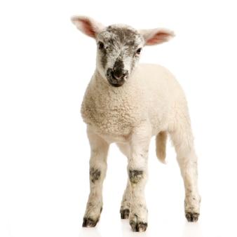 子羊の立っている白い背景で隔離
