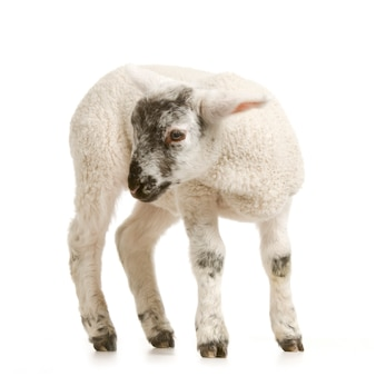Lamb standing up isolated on a white background