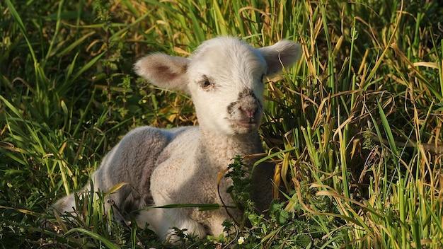 잔디에 흰 양고기