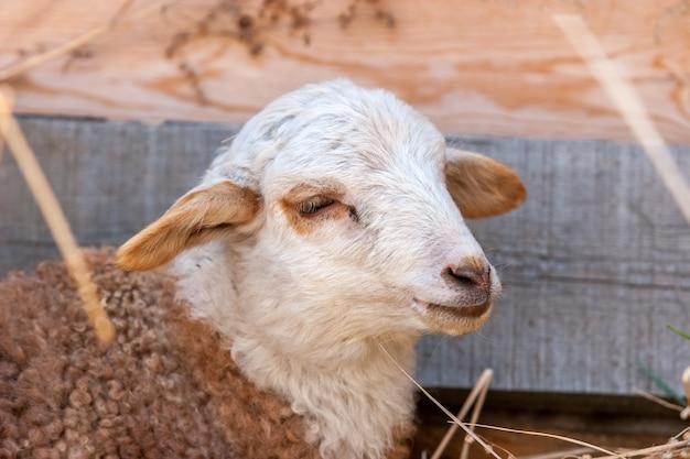 白い頭と茶色のコートを持つ子羊