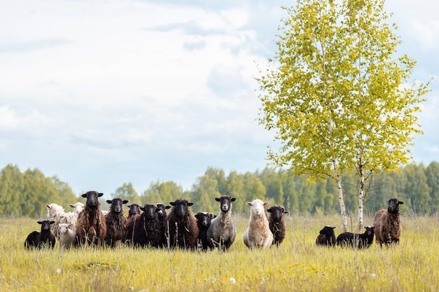어린 양 및 양 푸른 잔디