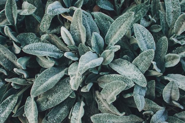 ラムズイヤートルコのラムズイヤーstachysビザンチン羊毛のイヌゴマは庭の背景をクローズアップ