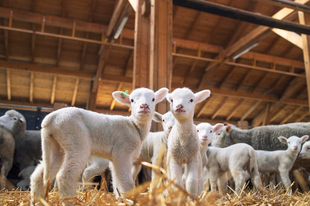 Lambs looking at front in the wooden barn