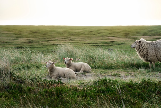 Lambs resting on sylt island vegetation