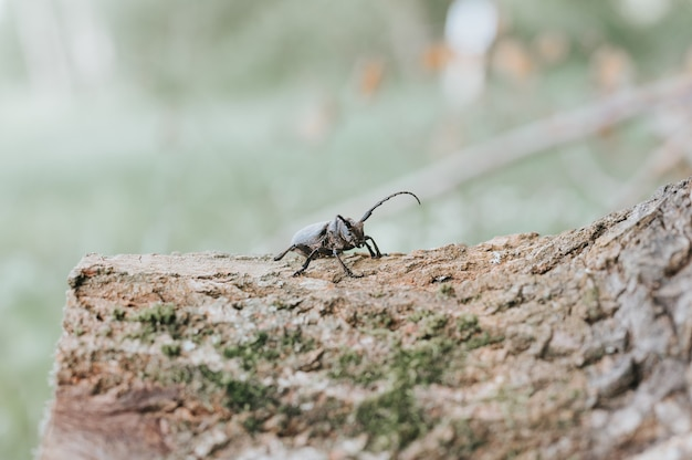 Lamia textor - жук-ткач на коре дерева