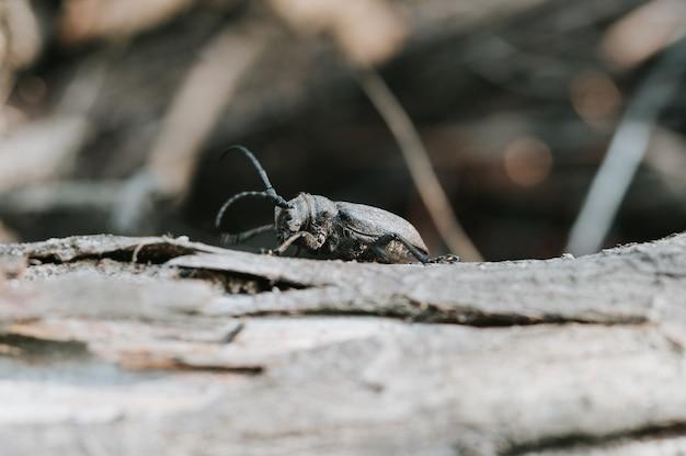 Lamia textor - жук-ткачиха на коре дерева.
