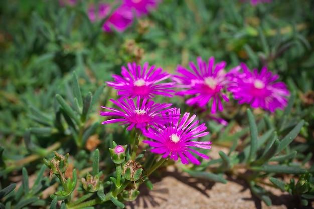 Лампрантус (ледяное растение) цветы в природе