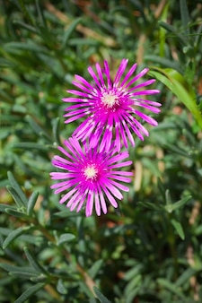 Lampranthus (ice plant) flowers in the nature