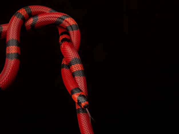 一般にミルクヘビまたはミルクヘビとして知られているlampropeltistriangulumは、キングヘビの一種です。