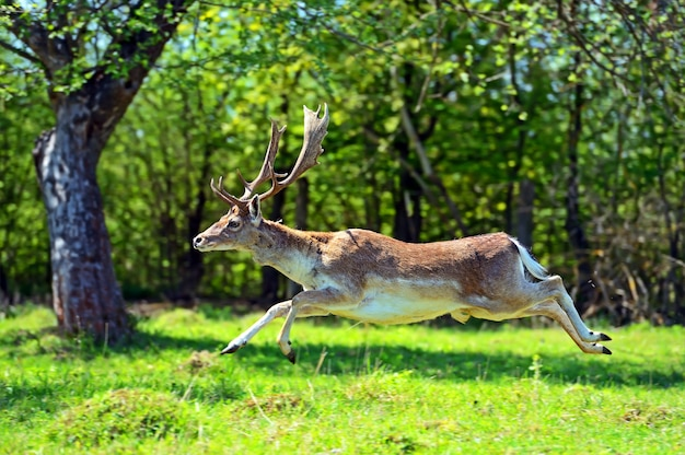 Лан дикий в естественной среде обитания весной