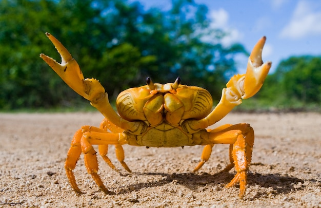 Land crab stands on the ground and spread its claws