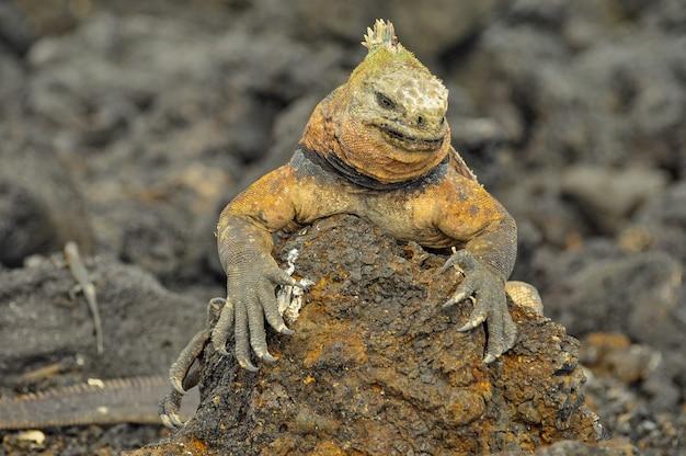 Land iguana in natural environment