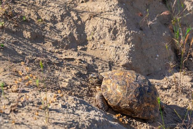 Сухопутная черепаха гуляет по степи