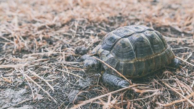 Сухопутная черепаха гуляет по сухой траве
