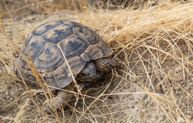 Сухопутная черепаха ползет по сухой траве