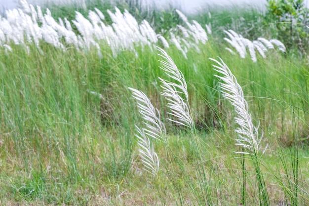 흰 꽃이 만발한 야생 스티파 깃털 풀이 가득한 땅